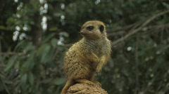 Meerkat 3 Stock Footage