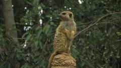 Meerkat 2 Stock Footage