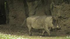 Warthog Stock Footage