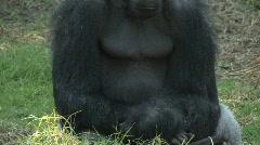 One sad gorilla Stock Footage