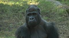 Silverback Gorilla Stock Footage