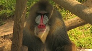 Stock Video Footage of Primate 1