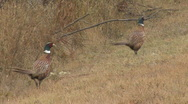 P00717 Ring-necked Pheasants Stock Footage