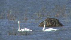 P00718 Trumpeter Swan Stock Footage