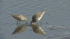 P00719 Long-billed Dowitchers Stock Footage
