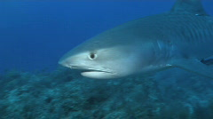 Tiger Shark - stock footage