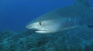 Stock Video Footage of Tiger Shark