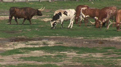 Texas longhorn cattle - stock footage
