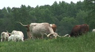 Stock Video Footage of Texas longhorn cattle