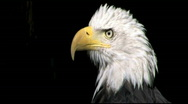 Stock Video Footage of Bald Eagle CU Zoom Out 1