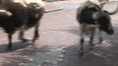 Longhorns in Fort Worth Stock Footage