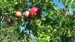 Pomegranate, fruit picking Stock Footage