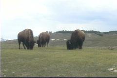 Buffalo HeadButt Yellowstone Stock Footage
