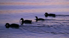 Mallard Ducks 5 - stock footage