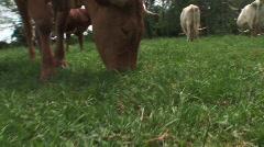 Texas longhorn cattle Stock Footage