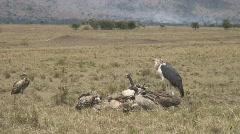 Masai Mara 00 Vultures Stock Footage