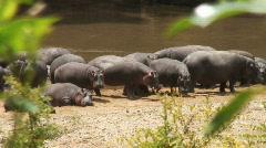 Masai Mara 05 Hippopotamus Stock Footage