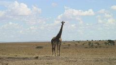 Masai Mara 03 Giraffe Stock Footage