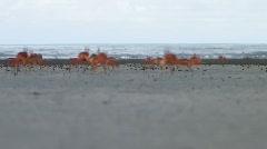 Crabs running across beach (HD) C Stock Footage