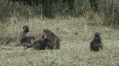 Masai Mara 12 Monkeys Stock Footage