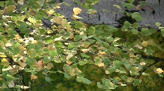 Autumn branches and leaves of birch (Betula pendula) swaying in the wind  Stock Footage