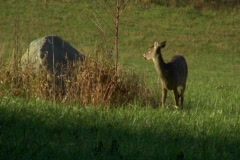 whitetail deer, female, grazing near rock1 - stock footage