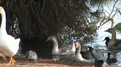 Geese Stepping Onto Shore HD - stock footage