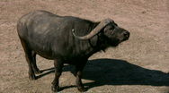 Stock Video Footage of African Buffalo 2