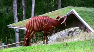 Stock Video Footage of Bongo Antelope 1
