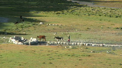 Meadow cow tending Stock Footage