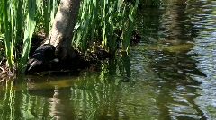 Common Coot swimming in pond Stock Footage