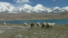 Sheep at karakol lake  Stock Footage