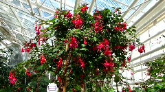 Fuchsia x Hybride, Dollar princess, Onagraceae, Garden Fuchsie - stock footage