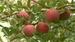 Ripe apples on the tree Stock Footage