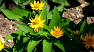 Stock Video Footage of Melampodium Paludosum, Showstar, Asteraceae