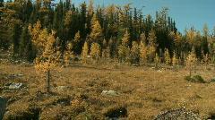 Autumn Alpine Larch Trees Stock Footage