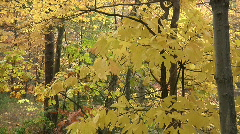 Fall Trees37 Stock Footage