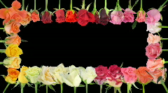 Montage of opening colorful roses time-lapse with alpha matte 5a Stock Footage