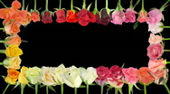 Stock Video Footage of Montage of opening colorful roses time-lapse with alpha matte 5a