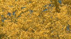 Autumn Aspen Poplars Stock Footage