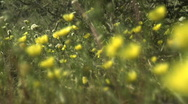 Yellow desert flowers rackfocus Stock Footage