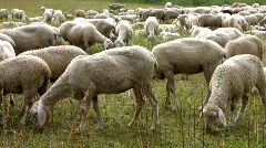 Sheep Lamb Goat grazing in Grass meadow  Stock Footage