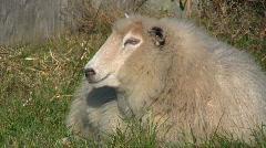 Sheep got surprised Stock Footage