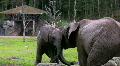 Elephant And Calf 2 Footage