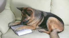 Stock Video Footage of Dog reading book on the couch