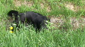 HD1080i Young brunette woman and black dog playing outdoor on green meadow Footage