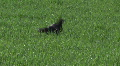 Dog seeking a ball in the thick grass Footage