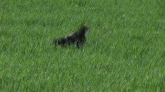 Dog seeking a ball in the thick grass Stock Footage