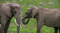 Two Elephants 2 Footage