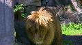 Lion 1 HD Footage